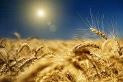 Продам пшеницу 1 класс 45 000 тенге,  250-300 тонн