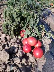 Продам помидоры розовые от производителя